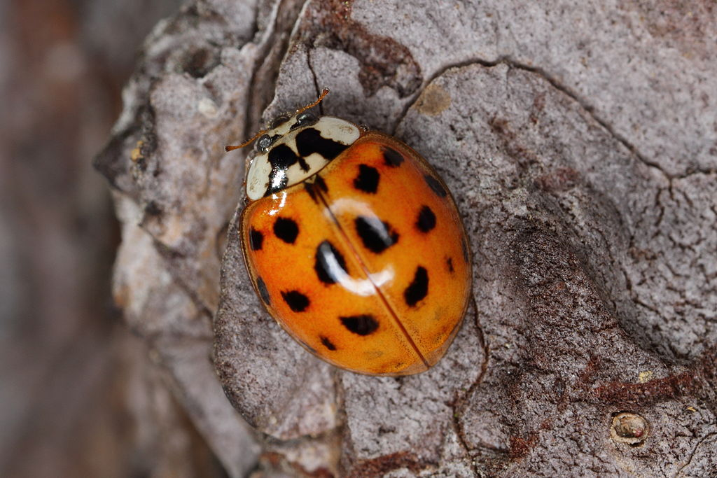A harlequin ladybird. Credit: spacebirdy/Wikimedia Commons, CC BY-SA 3.0