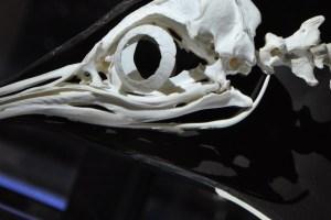 A penguin's skeleton on display in a museum. Credit: marcelabr/pixabay