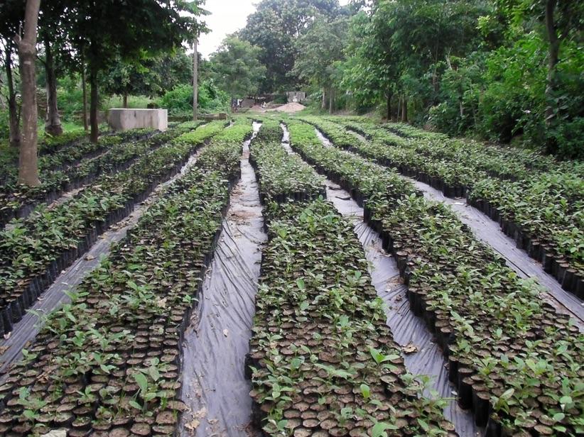 A LEAF nursery with more than one lakh plants. Credit: Madhu Ramnath