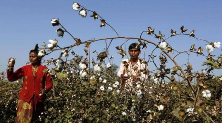 Cotton is more vulnerable to pests and farmers in this region are known to use not less than 15 different types of pesticides, out of which atleast seven have been declared 'carcinogenic' by the US Environmental Protection Agency. Credit: Reuters/Amit Dave/Files