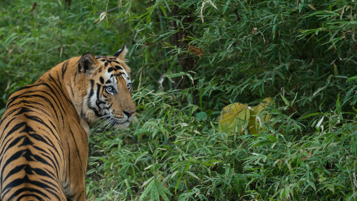 A tiger in Ranthambore, Rajasthan. Credit: Christopher Kray/Flickr, CC BY 2.0