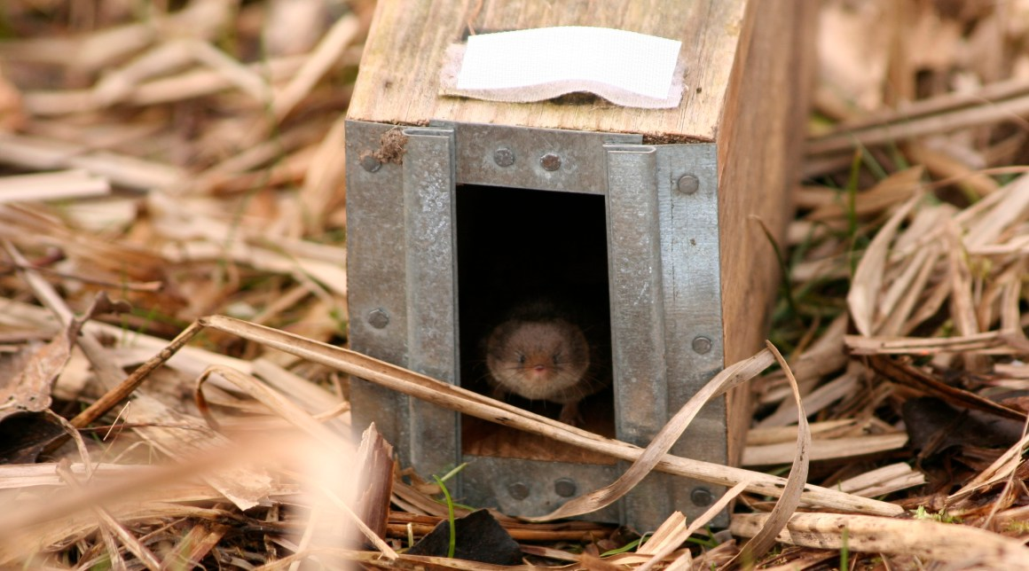 A common shrew in a trap. Credit: Javier Lázaro