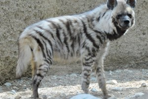 The Living Desert: Striped Hyena. Credit:Flickr, CC BY-NC-ND