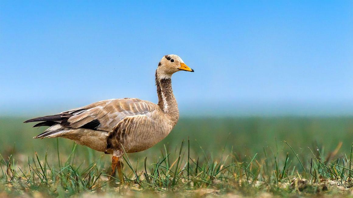 A bar-headed goose. Credit: Mprasannak/Wikimedia Commons, CC BY-SA 4.0