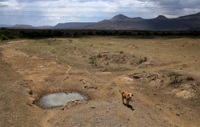 A cow is seen near a dry river outside Utrecht, a small town in the northwest of KwaZulu-Natal. Credit: Reuters