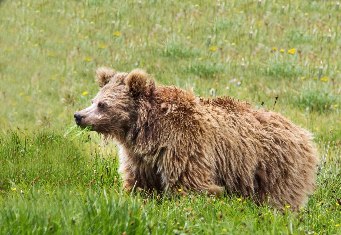 A Himalayan brown bear from Deosai National Park, Pakistan. Credit: Abdullah Khan, Snow Leopard Foundation