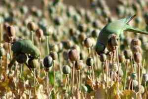 parrot opium