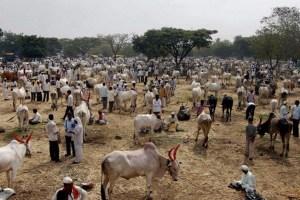 Cattle Market 1 PTI