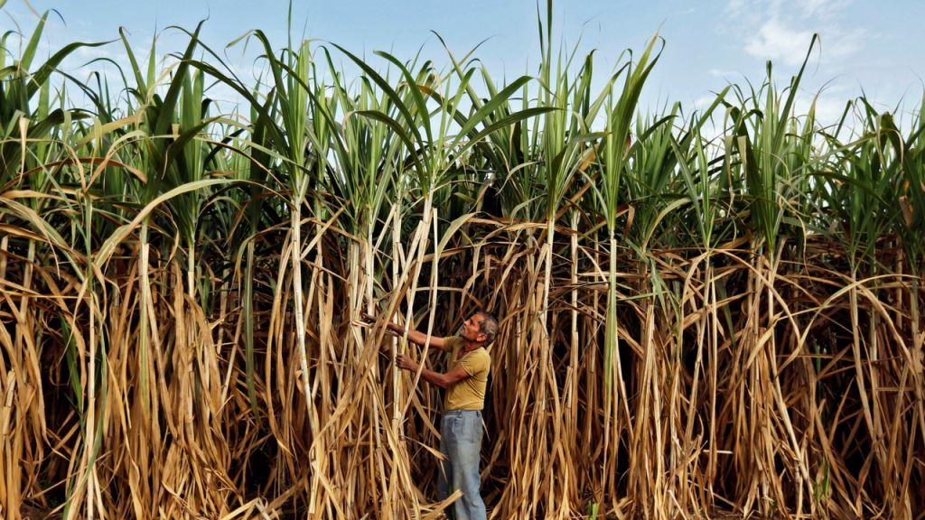 sugarcane_farmers Reuters