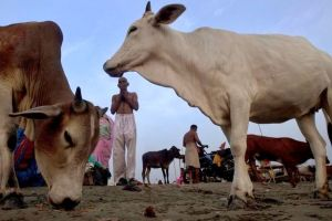 Cows PTI