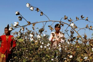 Cotton Farmers Reuters