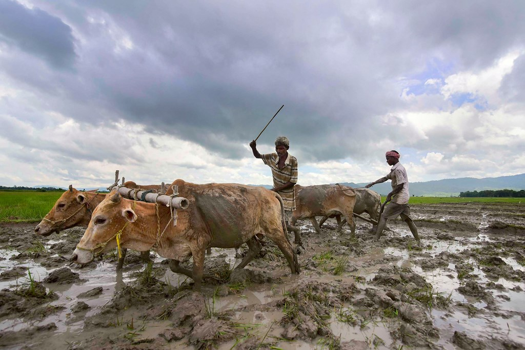 Nagaon: A farmer ploughs his field using bullocks at Bamuni village, in Nagaon, Tuesday, July 02, 2019. (PTI Photo) (PTI7_2_2019_000076B)
