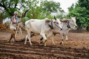 Nagpur: A farmer ploughs his field at a cotton plantation, in Hingna village near Nagpur, Friday, July 5, 2019. (PTI Photo) (PTI7_5_2019_000147B)