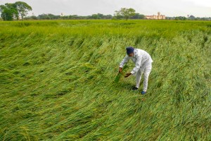 Amritsar: Despondent farmer inspects his flattened paddy crop following monsoon rainfall, on the outskirts of Amritsar, Sunday, Sept. 29, 2019. (PTI Photo) (PTI9_29_2019_000141B)