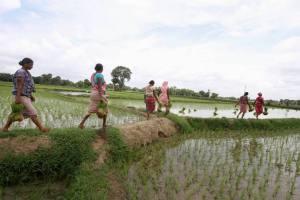 Farmers Paddy PTI