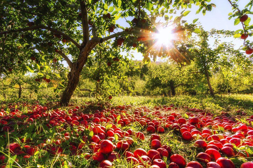 A beautiful orchard @ Mont-Saint-Hilaire, Quebec, Canada
