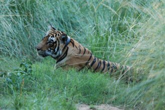 9. Male tiger spotted