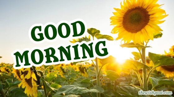 beautiful-good-morning-with-fresh-sunflower-garden-wallpaper-yellow-pictures-wishing-greeting-e-cards-Images-pic-photo-wishes-for-sharing-social-media-free-download