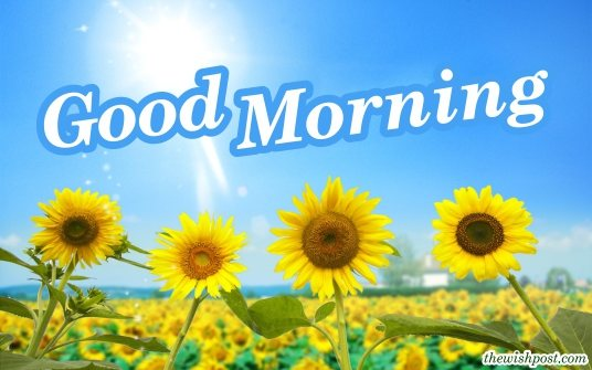 hd-good-morning-with-sunflower-garden-wallpaper-yellow-pictures-download-Images-pic-photo-wishes-for-sharing-on-instagram-facebook-whatsapp-status
