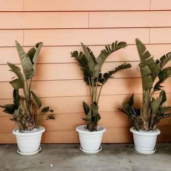banana plant on pots beside orange wall