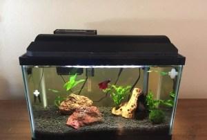 Red betta in planted aquarium