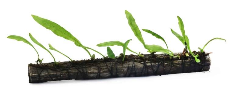 Java Fern Wood Substrate