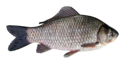 Silver prussian carp