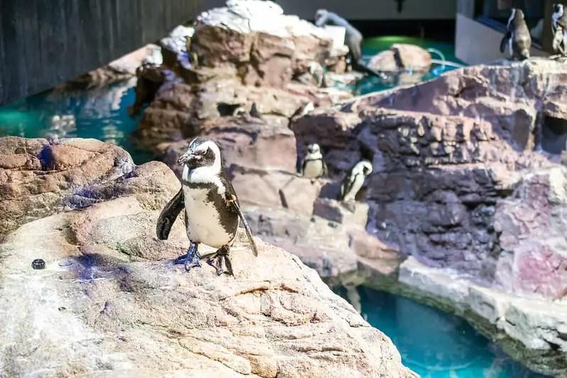 Penguin at the New England Aquarium