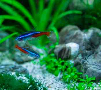 two neon tetra swimming in an aquarium