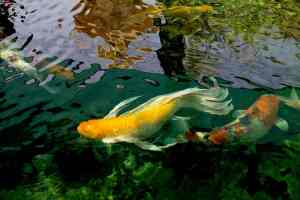 Beautiful yellow butterfly koi swimming in a pond