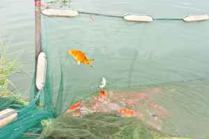 koi fish jumping out of water in crowded koi pond with netting