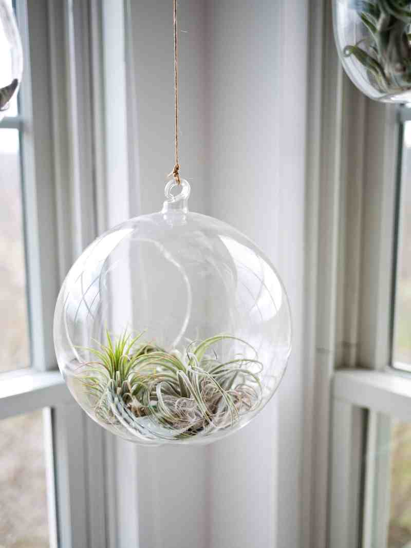 hanging glass globe with air plants