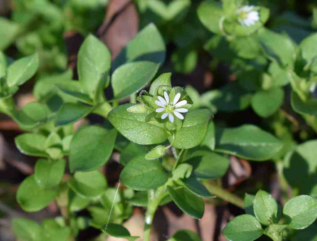 picture of chickweed plant with flower