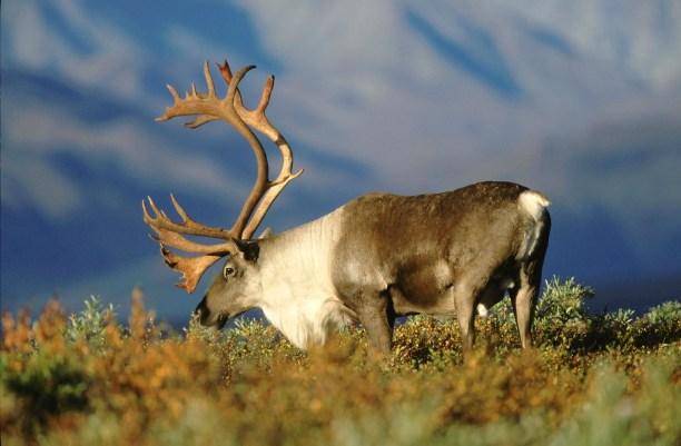 Barren Ground Caribou (Rangifer tarandus groenlandicus) Alaska, USA