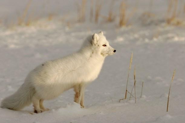 Arctic Fox (Alopex lagopus) Manitoba, Canada