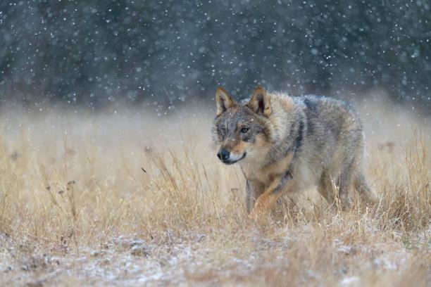 Eurasian Gray wolf (Canis lupus lupus), National Park Little Fatra, Slovakia, Europe