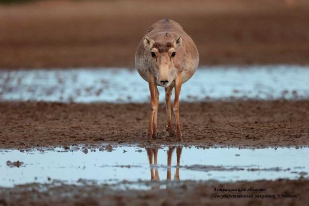 Saiga Antelope (Saiga tatarica) The Saiga Conservation Alliance