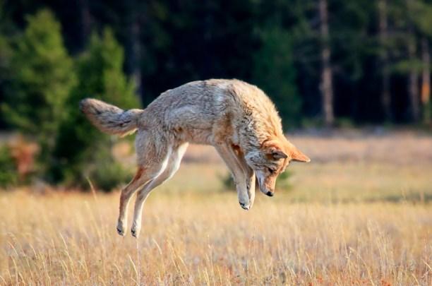 Coyote in Yellowstone Nacional Park