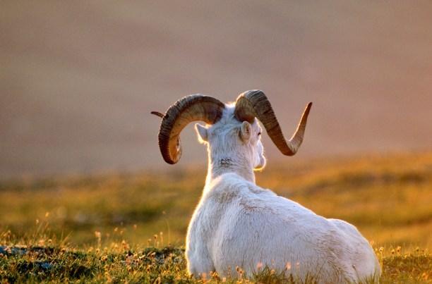 Dall sheep, ram resting at sunset on Mount Wright, Denali National Park, Alaska, USA