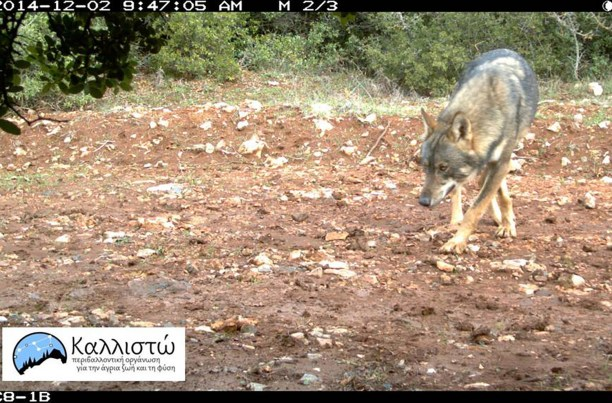 Wolf near Athens, Greece