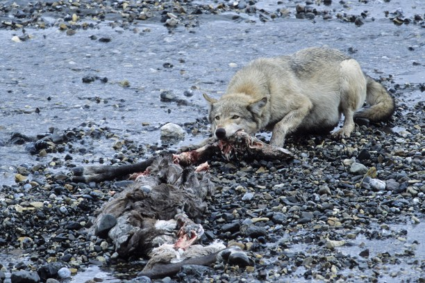 Mackenzie River Wolf (Canis lupus mackenzii) -Female Wolf at a caribou kill