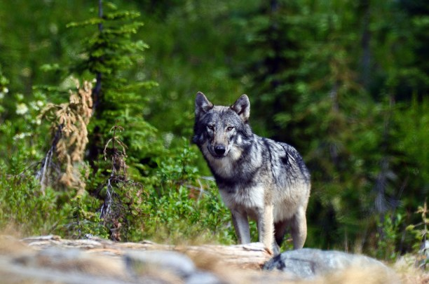 Wild gray wolf in the Northwest Peak Scenic Area in summer. Purcell Mountains, northwest Montana.