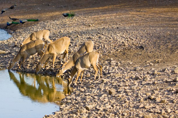 Female Nilgai drinking water in Ranthambore park (India)