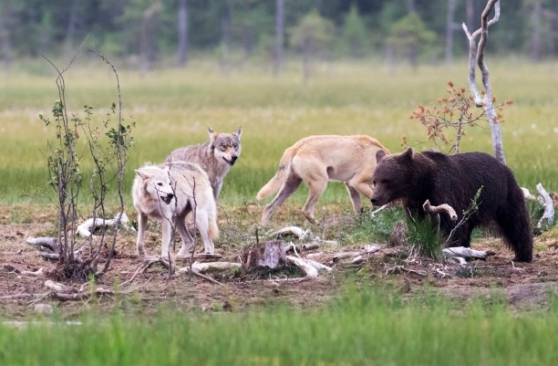 Gray Wolves in Northern Finland