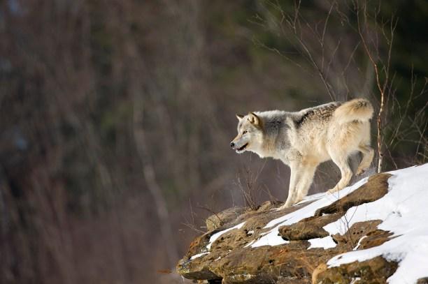Gray wolf stands alone on a rocky precipice.