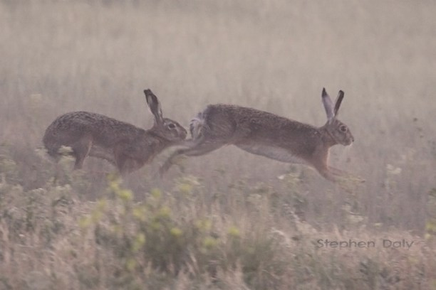 European Brown Hares (Lepus europaeus) Photo by Stephen Daly Baden-Württemberg, Germany