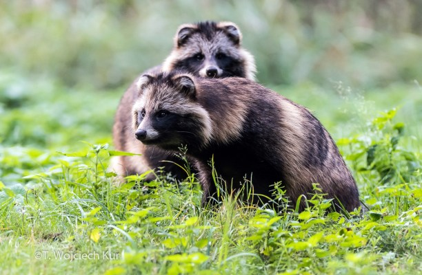 Raccoon Dog (Nyctereutes procyonoides) Photo Wojciech Kur, Poland