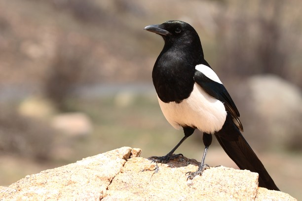 A Black-billed Magpie resting on a rock in Colorado