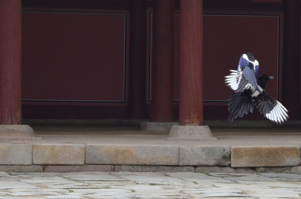 Two korean magpie flying up and fighting together during hot afternoon.