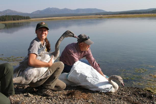 Brenna Cassidy, Biological Technician YNP, and Bill Long, Executive Director of Wyoming Wetlands Society, prepare to release two swan cygnets. Cygnets rely on open water to protect them from predators before they can fly. Credit Doug Smith